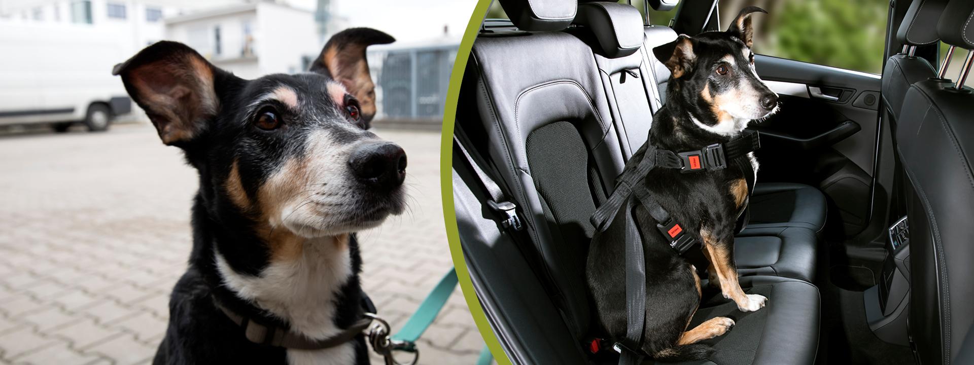 DoggySafe Big - der Sicherheitsgurt für große Hunde